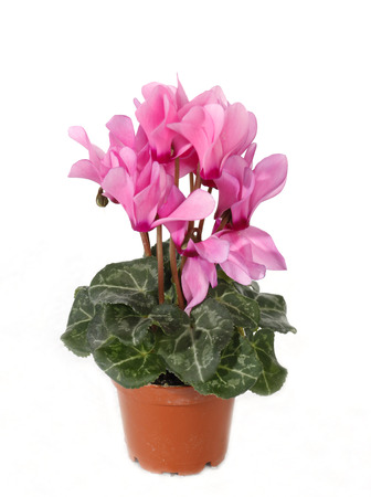 Cyclamen persicum, the Persian cyclamen, is a species of flowering herbaceous perennial plant