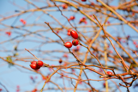 Rose hip or rosehip, also called rose haw and rose hep, is the accessory fruit of the rose plant. Banque d'images