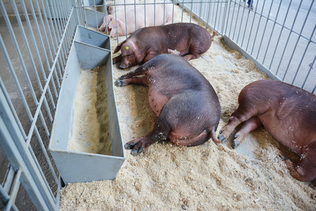 Pigs on countryside farm.  Pigs farming concept.