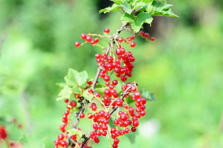 Harvesting redcurrant berries in the garden.