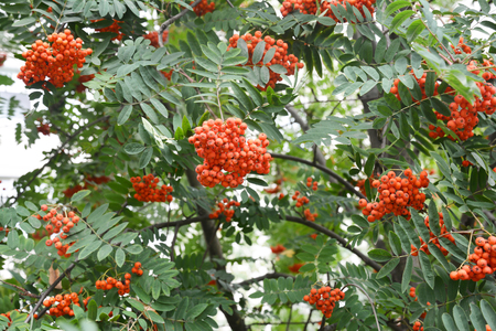 Ripe Rowan Berrries on Rowan Tree