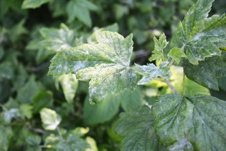 Black currant diseases. Downy Mildew. American gooseberry mildew and powdery mildew can infect the leaves and shoot tips, and botrytis may cause the fruit to rot in a wet season Фото со стока