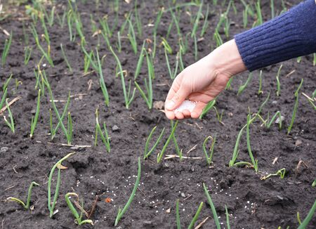Farmer hand with fertilizer for growing onion plants in the garden .