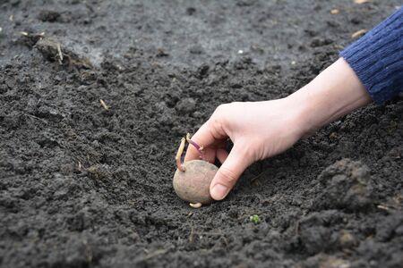 Farmer hand planting potato into the ground
