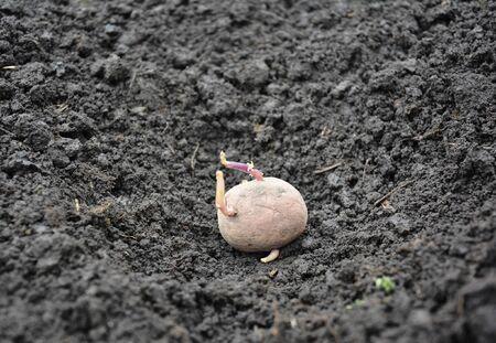 Planting potato into the ground. Potatoes farming