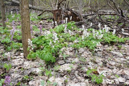 Corydalis marschalliana and Corydalis bulbosa flowers in early spring forest