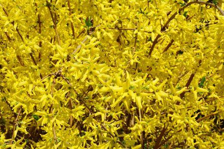 Forsythia or Easter tree blooming. Forsythia bush bloom. Flowering forsythia in springtime. Banco de Imagens
