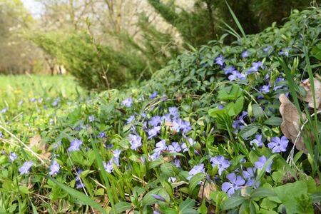 Periwinkle blue spring flowers bloom Stock Photo - 126963585