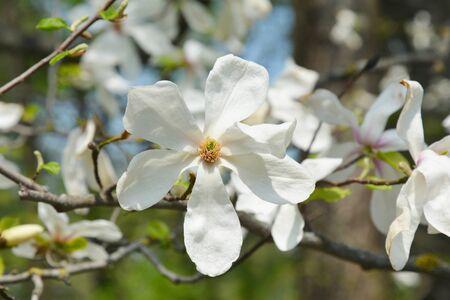 Magnolia Flower on Magnolia Tree. Close up on tender white magnolia flower. 写真素材