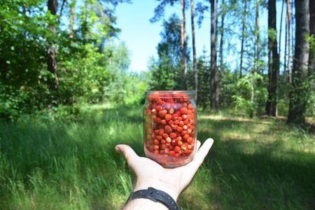 Wild strawberries, harvesting woodland strawberries,  Gathering Strawberries Harvest. Stock Photo - 126963703