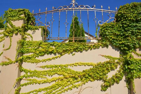 Luxury house stone fence with green  Boston ivy or Parthenocissus tricuspidata commonly known as grape ivy, Japanese ivy. Stock Photo