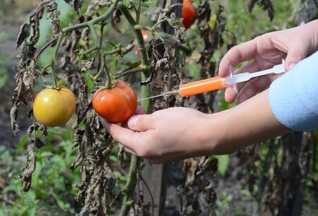 Scientist injecting chemicals into red tomato to make them ripe. Stock Photo
