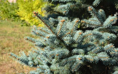Blue spruce branches. Blue spruce tree.