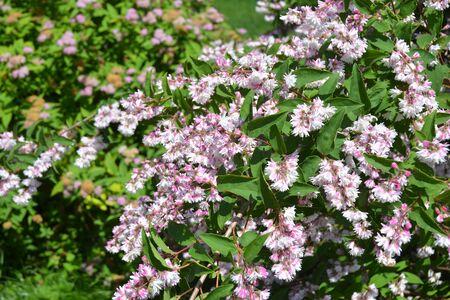 Deutzia bush branches bloom. Blossoming deutzia, deytion rough, or star-shaped flowering bush in the garden
