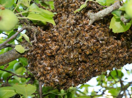Swarm of bees close up. Swarm of bees on the tree.  Swarm Catching Standard-Bild