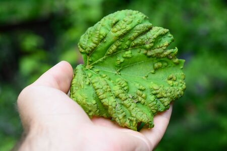Gardener Hold in Hand Downy Mildew Fungal Disease on Grape Leaf