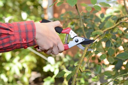 How to look after roses in autumn. Shorten the stems of tall bush roses to reduce wind-rock during winter gales, as this can loosen and damage the roots. Cut stems