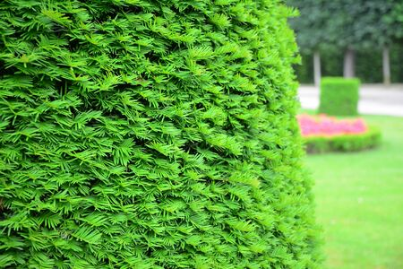 Taxus baccata, European yew hedge background. Yew Hedging. Pruning Yew Hedges.