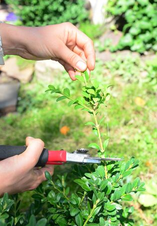 Boxwood Propagation with Stem Cuttings. Growing Boxwood Hedge Shrubs By Rooting Cuttings