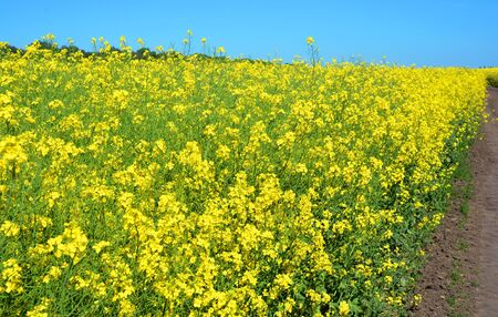 Rapeseed (Brassica napus), also known as rape, oilseed rape field with country road. Rapeseed blossom, Rapeseed field