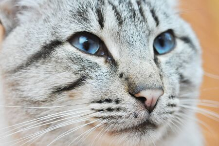Blue Eyes or Ojos Azules cat are remarkable for their deep blue eyes.