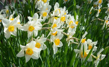 Narcissus flowers flowerbed in the springtime garden .