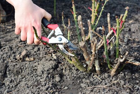 Pruning rose bush and cutting dead wood with bypass shears to prevent disease in early spring Standard-Bild - 143882566