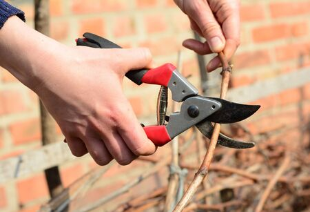 Pruning grapevines in early spring for better yields. Standard-Bild - 143951322