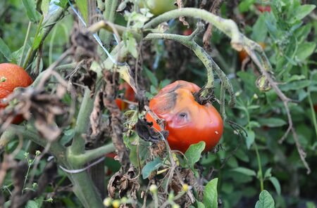 The fungus buckeye rot of tomato caused by the pathogen Phytophthora parasitica badly affected a tomato plant. Late stage of tomato disease.