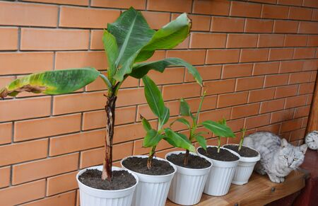 The Dwarf Cavendish Banana growing and propagation: young plants banana pups are repotted to separate pots.