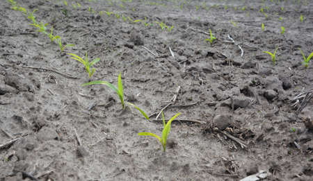 Planting and growing agriculture corn on dry poor soil during drought season in spring. Stockfoto