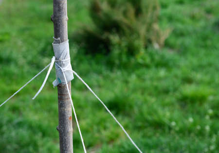 A close-up on tying a young tree with string with a risk to damage bark and trunk when staking a tree in windy areas. Stockfoto