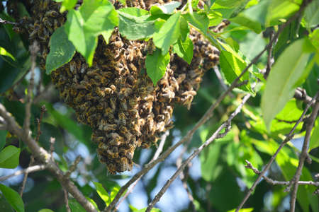 A close-up on a honey bee swarm on a cherry tree in summer.