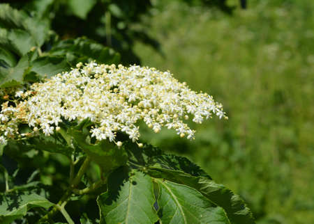 A close-up on sambucus, black elderberry blooming with a large cluster of small white and cream-colored flowers used in herbal medicine for cough treatment.