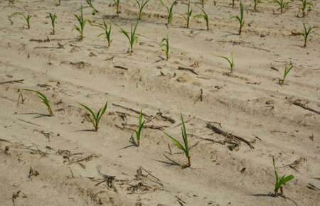 Farming and agriculture: corn sprouts, corn plants growing in poor sandy soil in summer drought as a result of climate change.