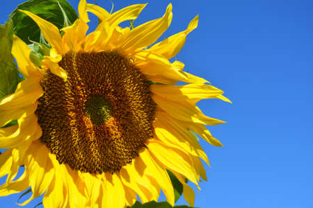 A close-up on beautiful sunflower blooming flower with yellow petals against blue sky.