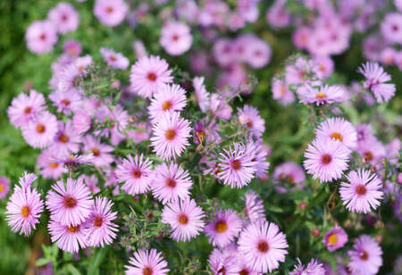 A close-up on a pink aster dumosus flowering plant, bushy aster richly blooming in autumn. Imagens