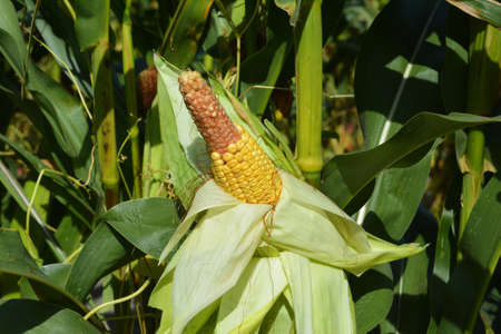 A close-up on a corn stalk with the corn ear, corn cob that misses kernels on the tip because of bad pollination what promises bad maize crop and harvest for corn farming.