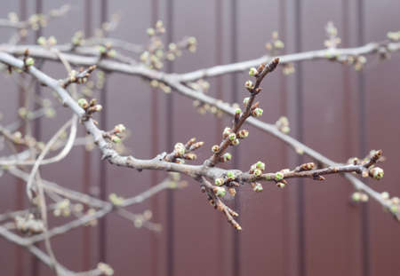 A close-up of bare, leafless plum tree branches, shoots with closed buds in spring with selective focus.