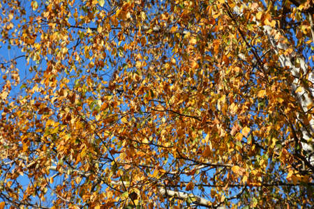 Golden leaves on the branches of an autumn birch tree against blue sky. Golden autumn leaves background.