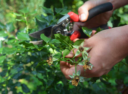 A gardener is caring of rose bush by deadheading, pruning roses with pruning shears to encourage more rose blooms in summer.