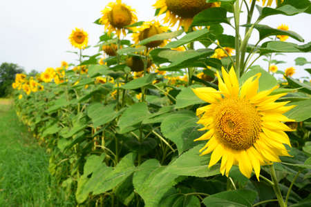 Growing sunflowers: A close-up of an agriculture field with yellow sunflower heads that just started to bloom in summer. 免版税图像