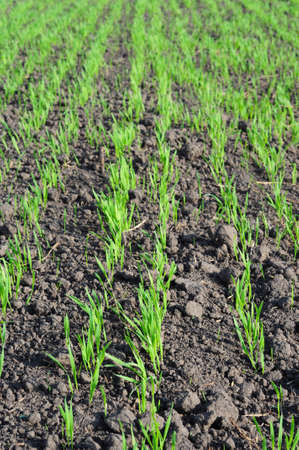 Agricultural grain sown field in spring. Early sown barley, wheat, rye, or late sown barley with young shoots in spring. 免版税图像
