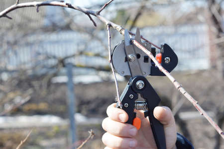 Fruit tree grafting and scion selection: cutting a scion from a one year growth branch with a grafting knife.