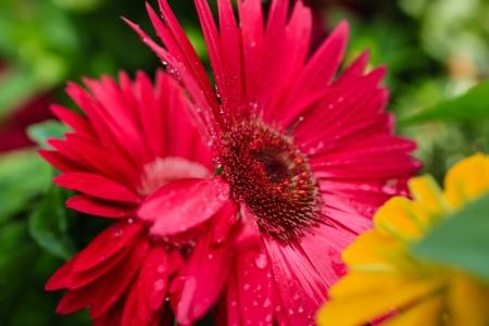 dewdrop: Reddish Daisy Flowers with dewdrop Stock Photo
