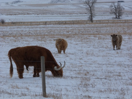 Several long horn cattle with their long winter coats in the Montana country side photo