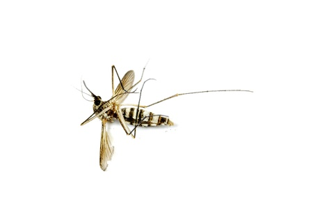 dead mosquito on isolated whited background photo