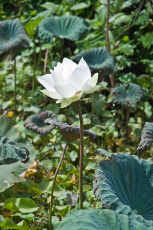 White Lotus in the River photo
