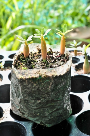 Young Adenium Obesum Stock Photo - 15730122