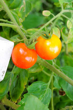 Close up of fresh red tomatoes still on the plant photo